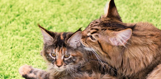 Treating Feline Leukemia