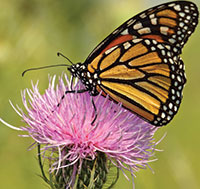 REVISITING MILK THISTLE— Not just for the liver